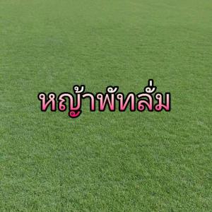 หญ้าพัทลั่ม